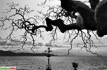 Gardone Riviera: Sophora Pendula