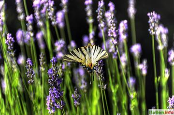 Novello: Segelfalter im Lavendel