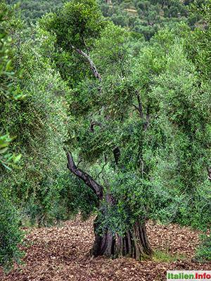 Vieste: Olivenbaum