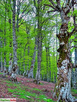 Viggianello: Belvedere di Malvento - Alte Bäume