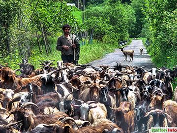 Verbicaro: Ziegenherde im Pollino-Nationalpark