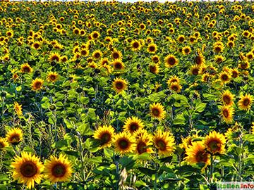 Castiglione della Pescaia: Sonnenblumen
