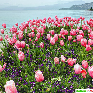 Bardolino: Tulpen am Lungolago