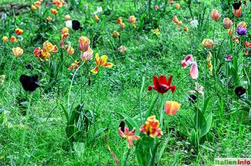Valeggio sul Mincio: Tulpenfeld im Parco Giardino Sigurtà