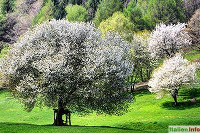 San Zeno di Montagna: Baumblüte